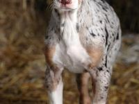 Louisiana Catahoula Leopard Dog Is A Beautiful Dog With Amazing