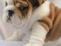 Bulldog/pug