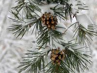 Käpy/Pine cone