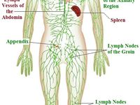 Lymphatic System By Mediuk 47 Health And Fitness Ideas