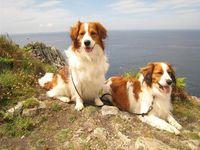 Kooikerhondje Small Dutch Waterfowl Dog 11 Hunderassen Hunde Hunde Rassen