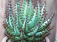 Especies de Aloe / Plantas diversas da especie Aloe