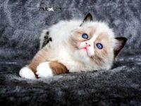 قطط للبيع في دبي قطة سكوتش فولد للبيع في الامارات مدربة على اللتر بوكس للجادين فقط برجاء الاتصال Cats Cat Pin Animals