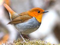 Robin / Rotkehlchen