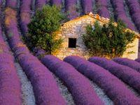 Flora-Lavender
