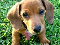 Dachshund and other adorable animals...