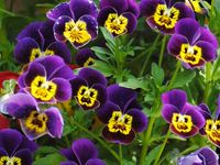 such cheerful flowers...love the color variations...they are one of my favorite flowers!