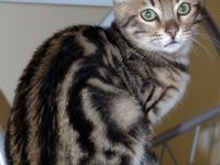 Found Marbled Bengal Cat 316 Parum Rd Colchester 860 450 6021 Found Tonight 4 14 16 On Parum Rd In Colchester Ct Carmel Bengal Cat Beautiful Cats Cats