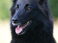Honden(trimmen)