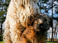 My love for Wheaten Terriers and their loveable disposition of perpetual puppyhood.