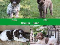 Colour Comparisons Lagotto Romagnolo Club Of Canada Lagotto Romagnolo Brown Puppies Lagotto Romagnolo Puppy