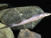 ... + images about Knifefish on Pinterest Pictures of, Knives and Brown
