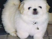 Pekingese and Pomeranian dogs are my fav breeds. Love Teacup puppies and these tiny dogs