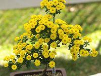 Flowers: Bonsai