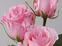 rozes