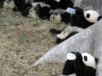 ALL ABOUT THEM PANDAS