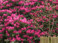 Flores - Azaléia