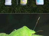 rid of stink bugs