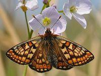 Wildlife Conservation #marshfritillary #butterfly#shorthorncattle #redcrestednewt #deer #barnowls #redsquirrel