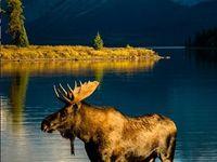 Mythical Moose