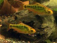 Fish for Fresh Water Aquariums  / Fish for a peaceful aquarium