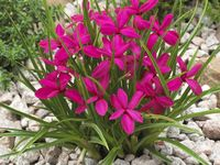 Found On Bing From Www Kernock Co Uk Buy Plants Online Plants Bulbous Plants