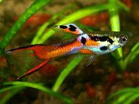 Endlers Livebearer For Sale Aquarium Fish Fish Tropical Fish