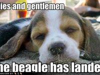 Puppies-BEAGLES