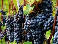 Vigne Vini Bottiglie Attrezzi per in Vino