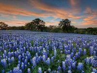 Texas My Texas: Bluebonnets
