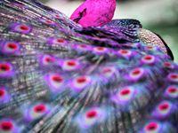 Peacocks--truly majestic birds