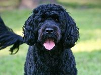 Just Like We Human Being Take Care Of Our Hair The Dogs Also Need Hair Care It Is More Important For Portuguese Water Dog Water Dog Hypoallergenic Dog Breed