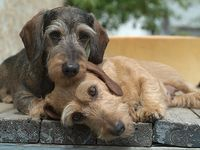I love and own dachshunds They are the best dogs!!