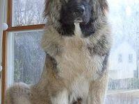 ... on Pinterest   Kangal Dog, Pharaoh Hound and Caucasian Shepherd Dog