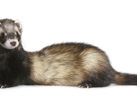 1000 Images About Ferrets Rule The House On Pinterest