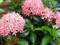 Tanaman Hias Bunga Bibitbunga Com Part 16 Tanaman Bunga Bunga Cantik
