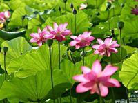 Lotus Flowers & Water Llilies