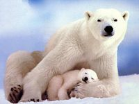 We can't get enough of these stunning creatures! NRDC BioGems is continually working to protect the polar bear. If you'd like to do more, visit: http://www.savebiogems.org/polar-bear-sos/