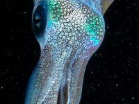 squid/octopus
