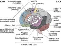 17 Best images about The Limbic System on Pinterest ... Adhd And Limbic System