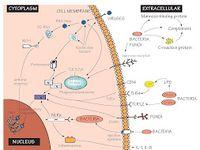 The History Of Toll Like Receptors Redefining Innate Immunity