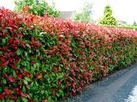 Evergreen shrubs and trees for hedge row