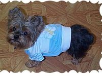 ... about YORKIES on Pinterest   Teacup Yorkie, Yorkie and Yorkie Puppy