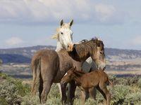 Wild Horses - a National Treasure