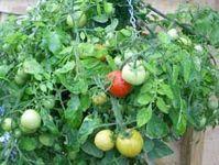 Tomato plants / Tomato plants