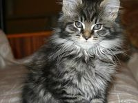 Coon cats on pinterest maine coon maine coon kittens and maine coon