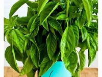 Kitchen tips and recipes from Kalyn's Kitchen geared towards people who are growing their own vegetables or herbs.
