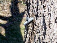 Foraging - Tree Sap