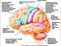 88 лучших изображений доски «Мозг» | Neuroscience, Nervous ...