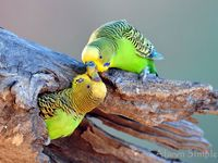 Parakeets Of Different Colours